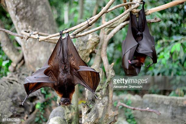 giant bats, alas kedaton, bali, indonesia - perching stock pictures, royalty-free photos & images