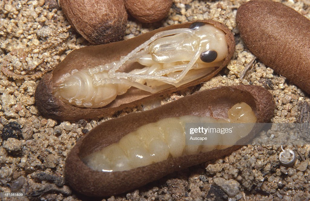 what does a bulldog look like giant bulldog ant myrmecia brevinoda two pupal shells 1180
