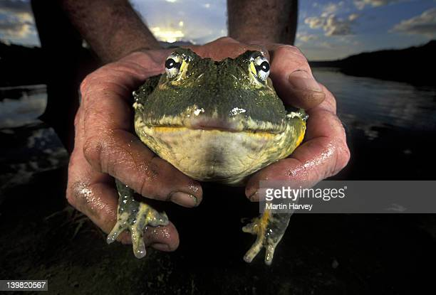Giant Bullfrog found crossing road. Pyxicephalus adsperus. Caught & released into safety. South Africa