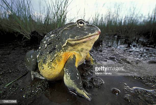 Giant Bullfrog, Pyxicephalus adsperus. Sitting in water. Southern Africa.