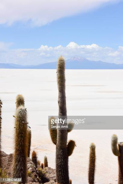 Giant cacti at Isla Incahuasi