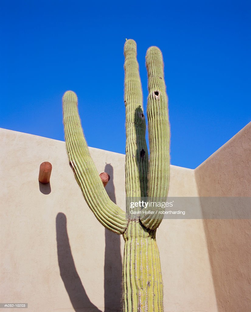 Giant cactus, Scottsdale, Arizona, USA. North America : Foto de stock