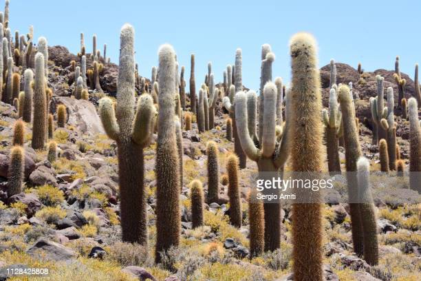 Giant cactuses