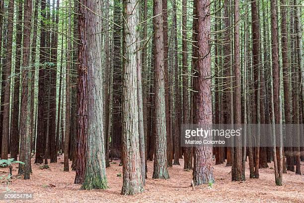 Giant californian coast redwoods forest, Rotorua, New Zealand