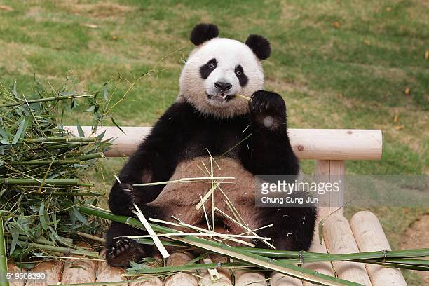 Giant chinese panda Ai Bao eats bamboo at Everland amusement park on April 7 2016 in Yongin South Korea South Korean amusement park Samsung Everlan...