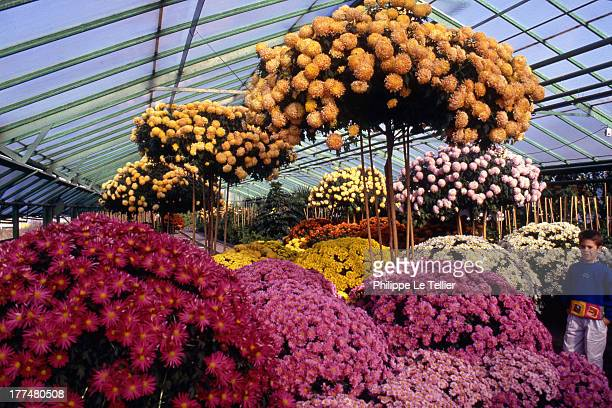Giant chrysanthemums of 331 metres has ChateauRenault in Touraine 1989 France Chrysantheme geant de 331 metres a ChateauRenault en Touraine 1989...