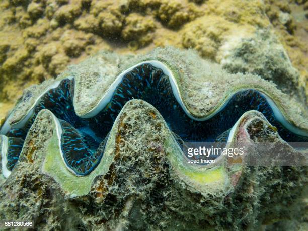giant clam, whitsunday, queensland, australia - queensland stock-fotos und bilder