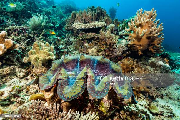 美しいサンゴの庭のジャイアント clamtridacna マガキ、ラジャ溢れる、インドネシア - ハードコーラル ストックフォトと画像