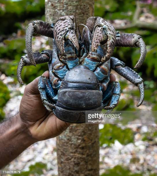 giant coconut crab being hand held. - coconut crab stock pictures, royalty-free photos & images