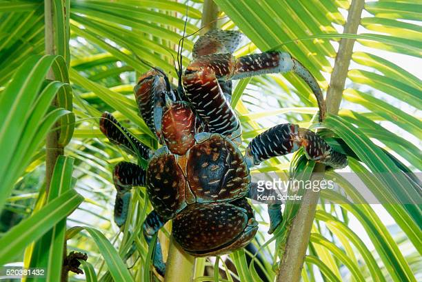 giant coconut crab on niue island - coconut crab stock pictures, royalty-free photos & images