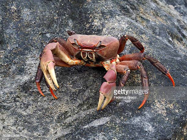 giant crab on a granite boulder, seychelles archipelago, indian ocean - coconut crab stock pictures, royalty-free photos & images