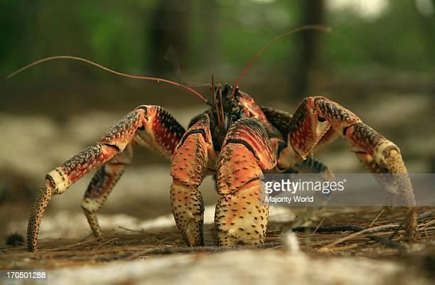 giant crab robber crab coconut crab Aldabra Seychelles
