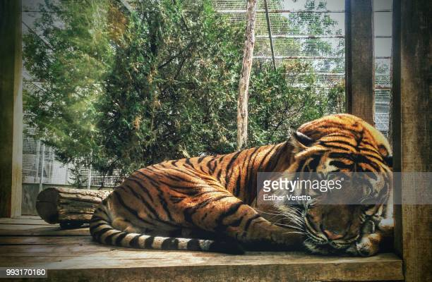 giant cuteness - sumatran tiger stock pictures, royalty-free photos & images