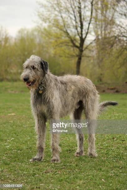 giant dog in the park - irischer wolfshund stock-fotos und bilder