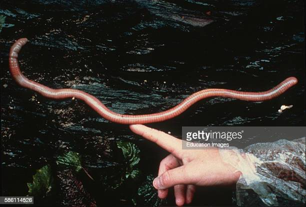 Giant Earthworm, Virunga Volcano Range, Virunga Mountains, Rwanda Oligochaeta.