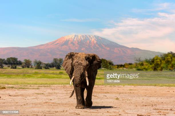 giant elephant grazing at amboseli with kilimanjaro - wildlife reserve stock photos and pictures