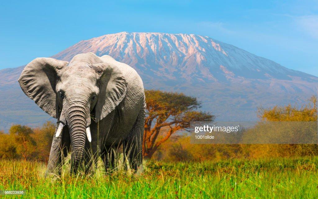 Giant Elephant grazing at Amboseli with Kilimanjaro : Stock Photo