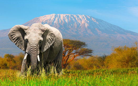 Giant Elephant grazing at Amboseli with Kilimanjaro 966223936