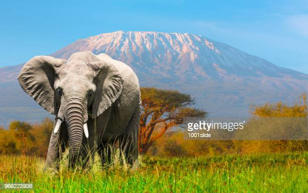 giant elephant grazing at amboseli with kilimanjaro - animals in the wild stock pictures, royalty-free photos & images