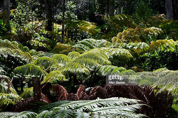 Giant ferns in forest