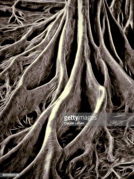 giant fig tree - tree roots stock pictures, royalty-free photos & images