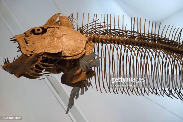 Giant fish skeleton of Xiphactinus audax of the Late Cretaceous Period 85 million years old Toronto Royal Ontario Museum