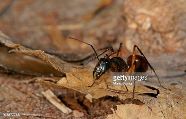 giant forest ant (camponotus gigas), tanjung puting national park, central kalimantan, borneo, indonesia - central kalimantan stock pictures, royalty-free photos & images