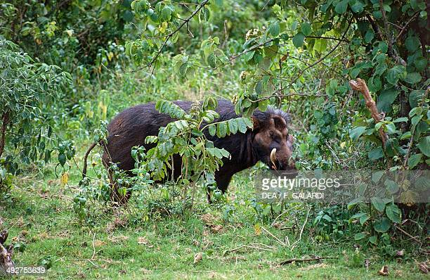 Giant forest hog Suidae