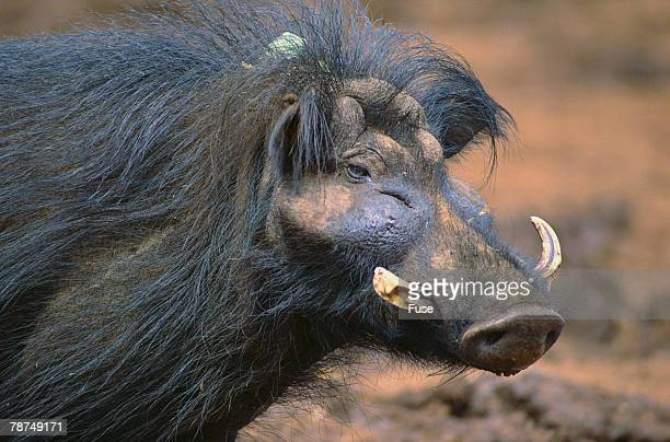 giant forest wart hog - ugly pig stock pictures, royalty-free photos & images