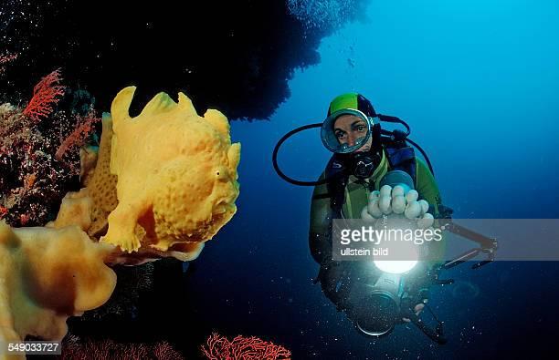 Giant frogfish and scuba diver Antennarius commersonii Indonesia Wakatobi Dive Resort Sulawesi Indian Ocean Bandasea
