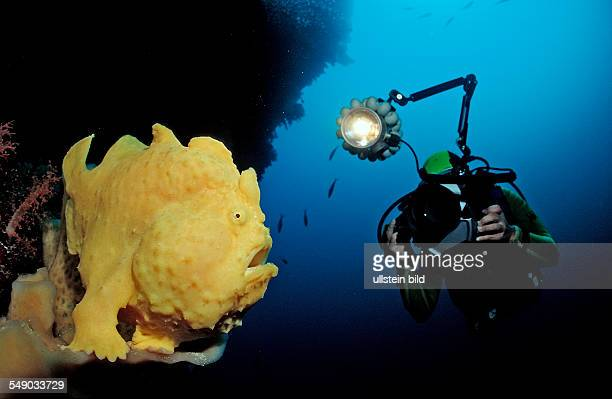 Giant frogfish and scuba diver Antennarius commersonii Indonesia Wakatobi Dive Resort Sulawesi Indian Ocean Bandasea