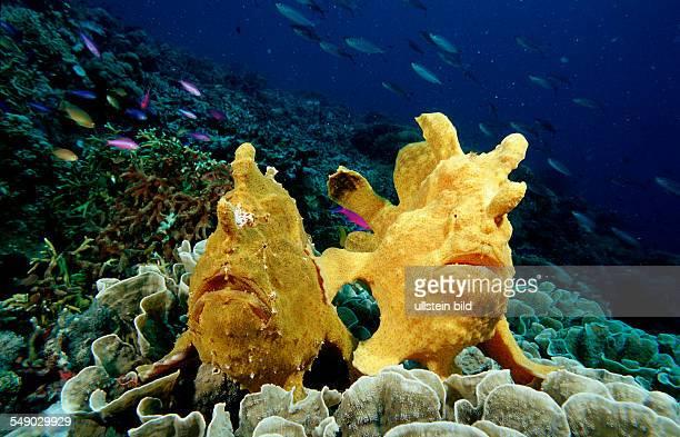 Giant frogfish Antennarius commersonii Philippinen Bohol Sea Pacific Ocean Panglao Island Bohol