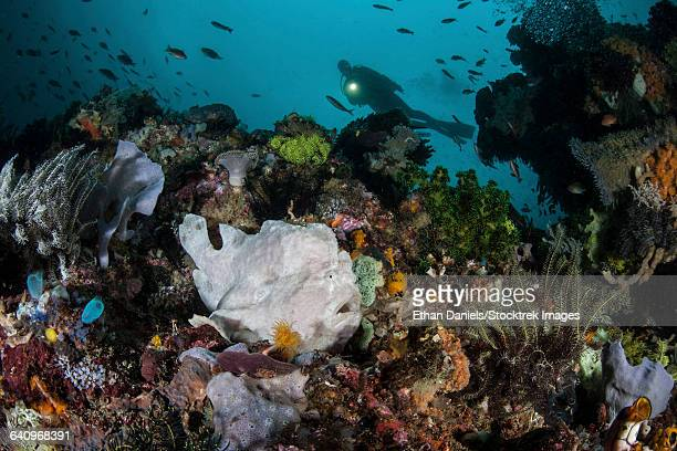 A giant frogfish blends into its reef surroundings in Indonesia.