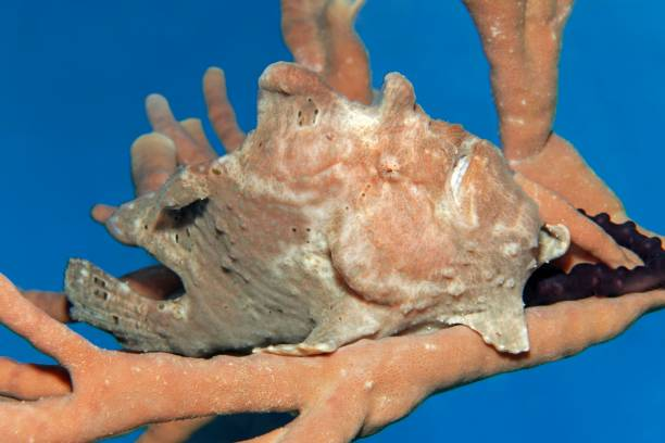 Giant frogfish (Antennarius commerson) on sponge, camouflaged, Red Sea, Jordan