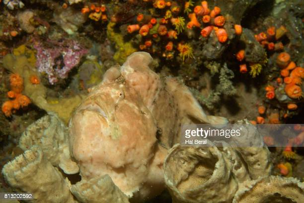 Giant Frogfish on Sponge