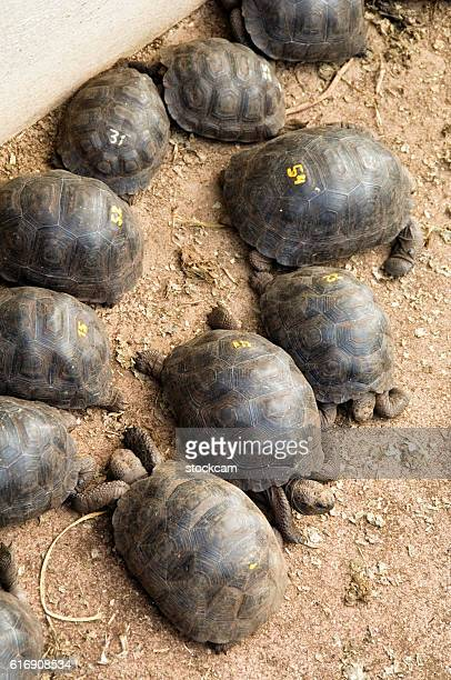 giant galapagos tortoise babies in breeding programme, darwin center - santa cruz island galapagos islands stock pictures, royalty-free photos & images