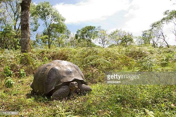 Giant Galapagos-Riesenschildkröte turtle