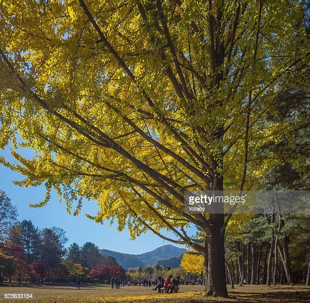 giant ginkgo tree and people, namiseom island, korea - vsojoy stockfoto's en -beelden