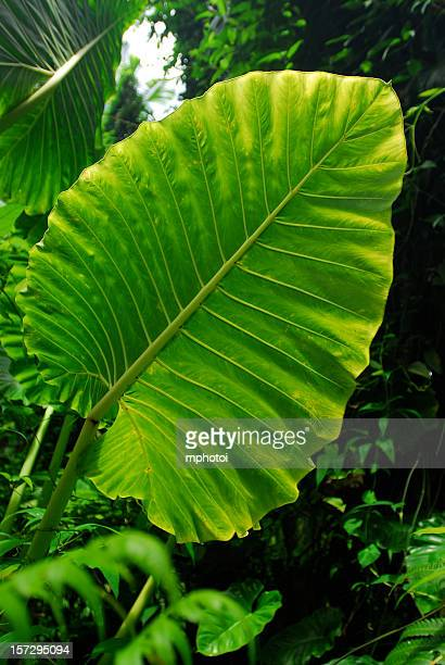 Giant green leaf