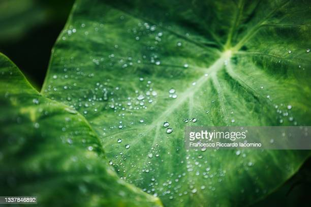 giant green tropical leaf with raindrops, macro - iacomino portugal foto e immagini stock