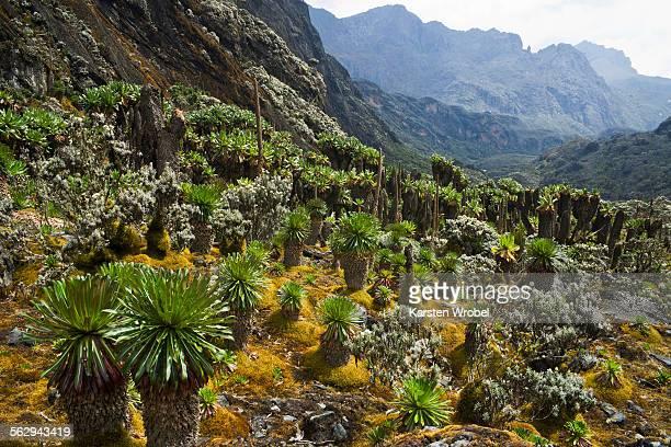 Giant Groundsels -Dendrosenecio- in the Rwenzori Mountains, Uganda