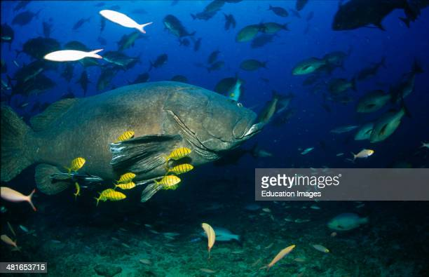 Giant grouper, Epinephelus lanceolatus, or Ratu Rua from Shark Reef shows no shyness and get close to the divers, is the largest bony fish in the...