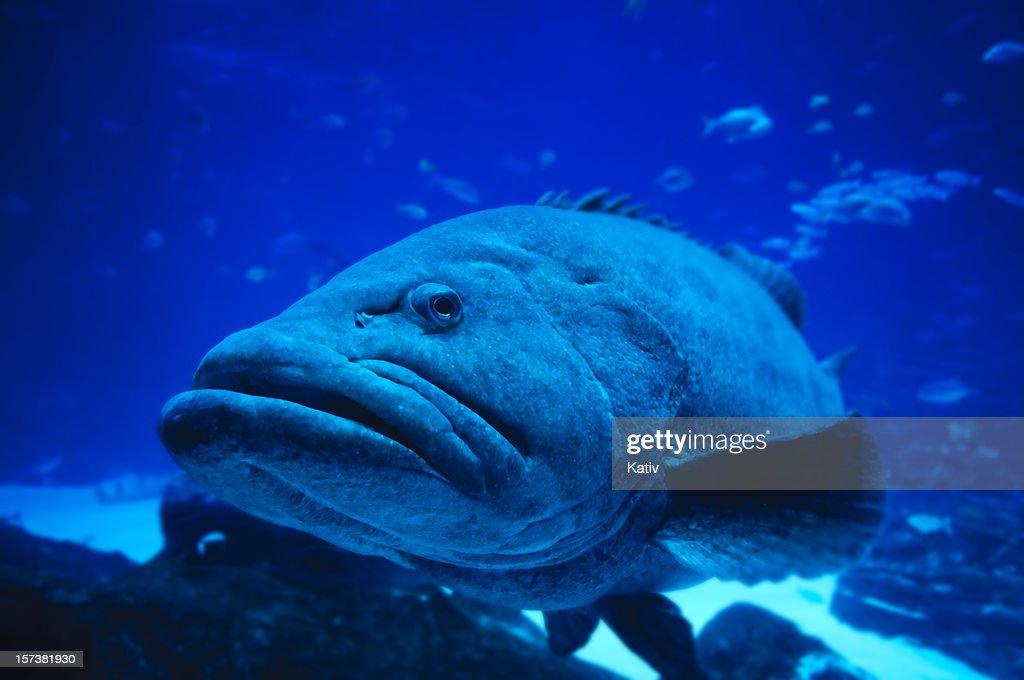 Giant Grouper : Stock Photo