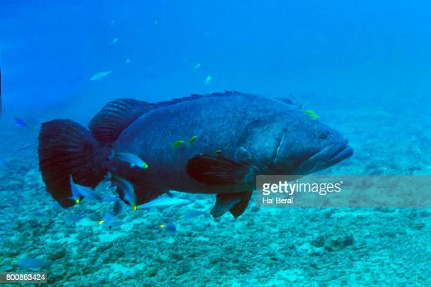 giant grouper - grouper stock pictures, royalty-free photos & images