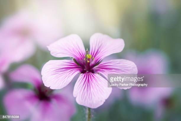 Giant Herb-Robert purple flower - Geranium maderense