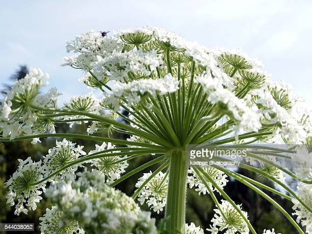 giant hogweed, detail - giant hogweed stock pictures, royalty-free photos & images
