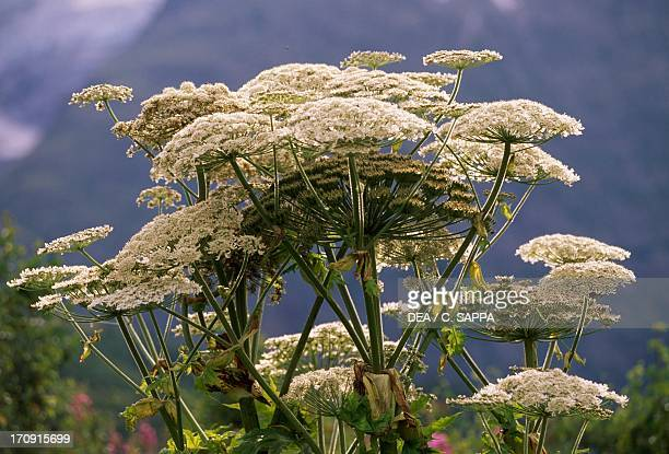 Giant hogweed Ecrins National Park France