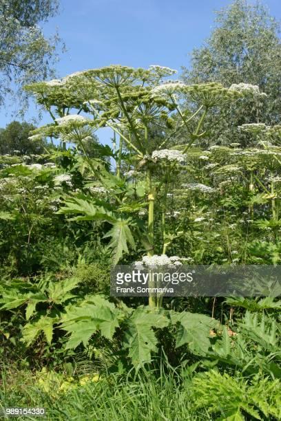 giant hogweed (heracleum mantegazzianum, heracleum giganteum), flowering, thuringia, germany - giant hogweed - fotografias e filmes do acervo