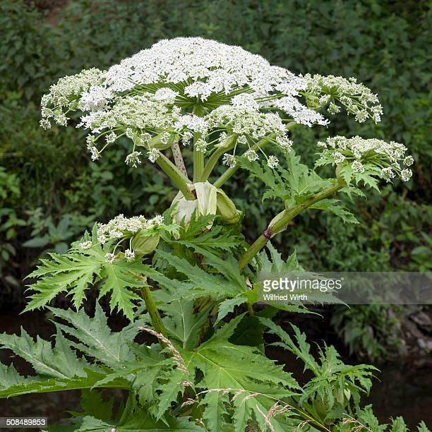 giant hogweed -heracleum mantegazzianum-, ruhr district, north rhine-westphalia, germany - giant hogweed stock pictures, royalty-free photos & images