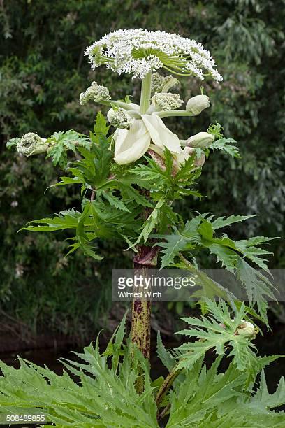 giant hogweed -heracleum mantegazzianum-, ruhr district, north rhine-westphalia, germany - giant hogweed - fotografias e filmes do acervo